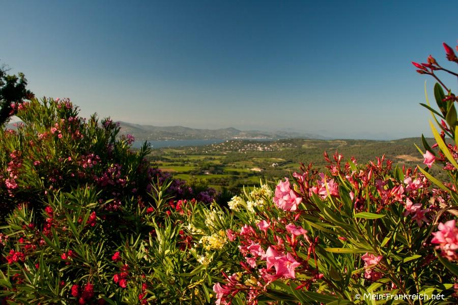 Blühender Oleander in Gassin an der Côte d'Azur
