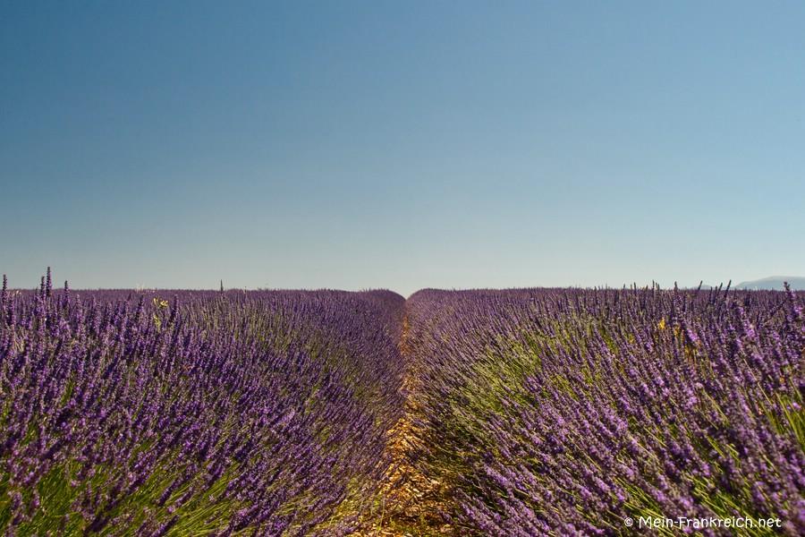 Lavendelfeld auf dem Plateau der Valensole, Provence
