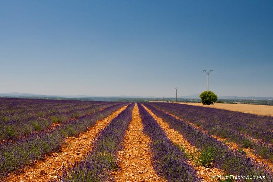 Blühender Lavendel auf rötlicher Erde in der Provence