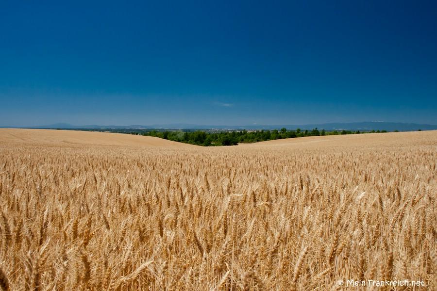 Kornfeld auf dem Plateau de Valensole
