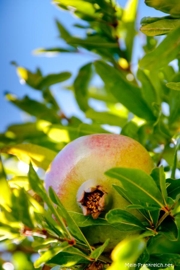 Granatapfel in Le Trayas an der Côte d'Azur