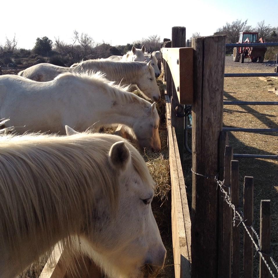 Die für die Camargue typischen Pferde